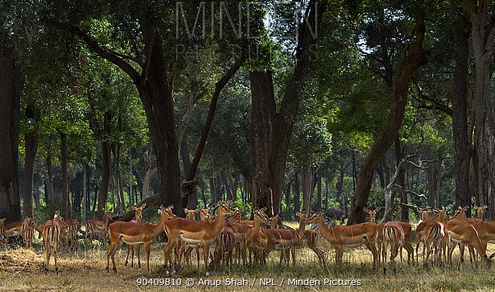 Impala (Aepyceros melampus) herd sheltering from the sunMaasai Mara National Reserve, Kenya Jan 2012  -  Anup Shah/ npl