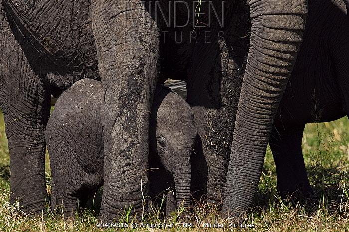 African elephant (Loxodonta africana) calf standing between the legs of adults for protection Maasai Mara National Reserve, Kenya Feb 2012  -  Anup Shah/ npl