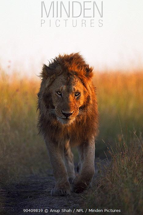 African Lion (Panthera leo) male walking across grassland Maasai Mara National Reserve, Kenya Feb 2012  -  Anup Shah/ npl