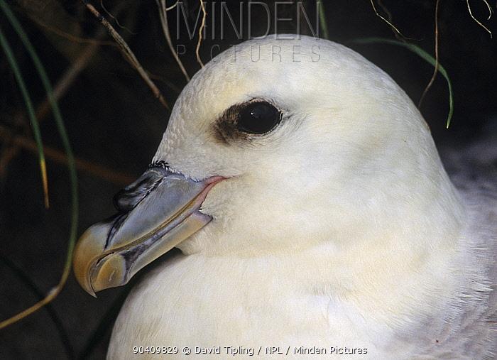 Fulmar (Fulmarus glacialis) on nest Mousa, Shetland, Scotland, UK  -  David Tipling/ npl