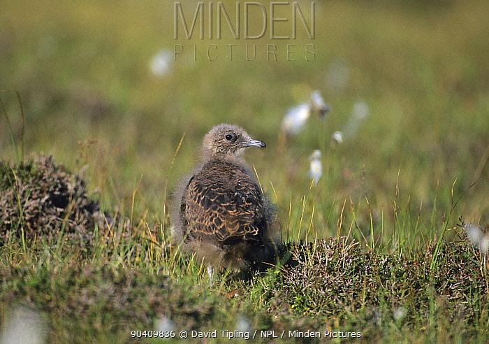 Arctic Skua (Stercorarius parasiticus) chick, Fair Isle, Scotland, UK  -  David Tipling/ npl