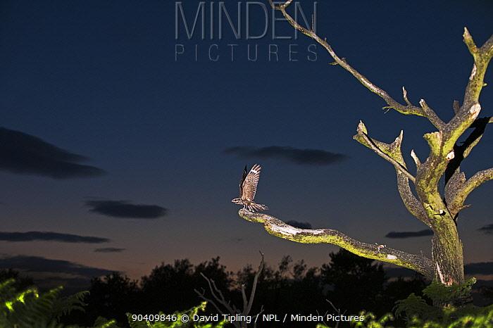 European Nightjar (Caprimulgus europaeus) male on song perch, Norfolk, England, UK July  -  David Tipling/ npl