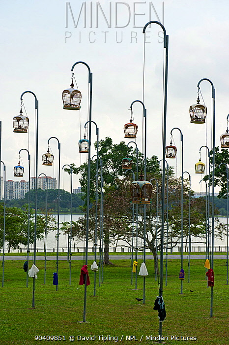 Cages of Peaceful Doves (Geopelia placida) on tall posts, Bedok Park, Singapore, July 2011  -  David Tipling/ npl
