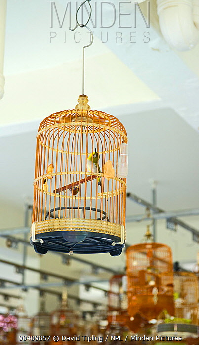 Oriental White-eyes (Zosterops palpebrosus) in cages, at regular bird keepers meeting in Singapore, July 2011  -  David Tipling/ npl