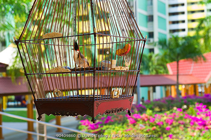 Red-whiskered Bulbuls (Pycnonotus jocosus) in cages, at regular bird keepers meeting in Singapore, July 2011  -  David Tipling/ npl