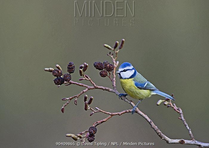 Blue Tit (Cyanistes caeruleus), Norfolk, England, UK, December  -  David Tipling/ npl