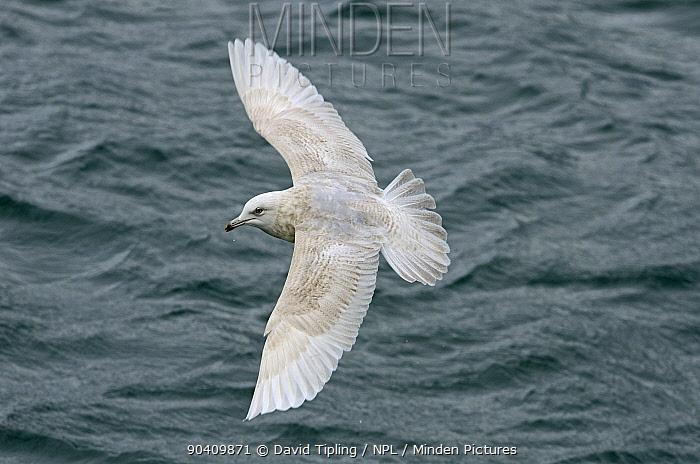 Iceland Gull (Larus glaucoides) second winter gull in flight, Ardglass Harbour, Northern Ireland, February  -  David Tipling/ npl