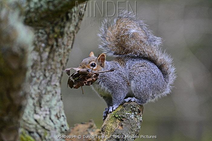 Grey Squirrel (Sciurus carolinensis) with nest material for dray, Norfolk, England, UK, April  -  David Tipling/ npl