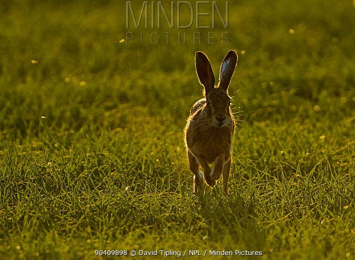 Brown Hare (Lepus europaeus) running, Norfolk, England, UK May  -  David Tipling/ npl