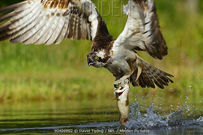 Osprey (Pandion haliaetus) fishing, Scottish Highlands, Scotland, UK, July  -  David Tipling/ npl