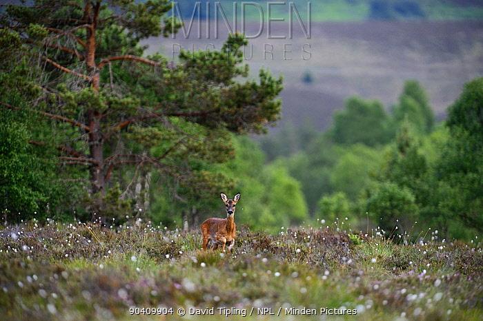 Roe Deer doe (Capreolus capreolus) on Tulloch Moor, Abernethy RSPB Reserve, Speyside, Scottsih Highlands, Scotland, UK July  -  David Tipling/ npl