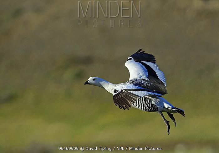 Upland Goose or Magellan Goose (Chloephaga picta) male, Torres del Paine National Par,k Patagonia, Chile  -  David Tipling/ npl
