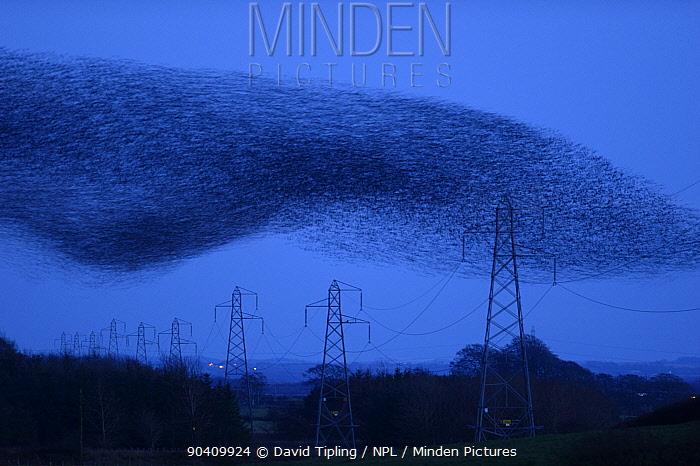 Starling (Sturnus vulgarss) murmuration of an estimated flock of one million arriving at roost, Rigg, Dumfries and Galloway, Scotland, UK December  -  David Tipling/ npl
