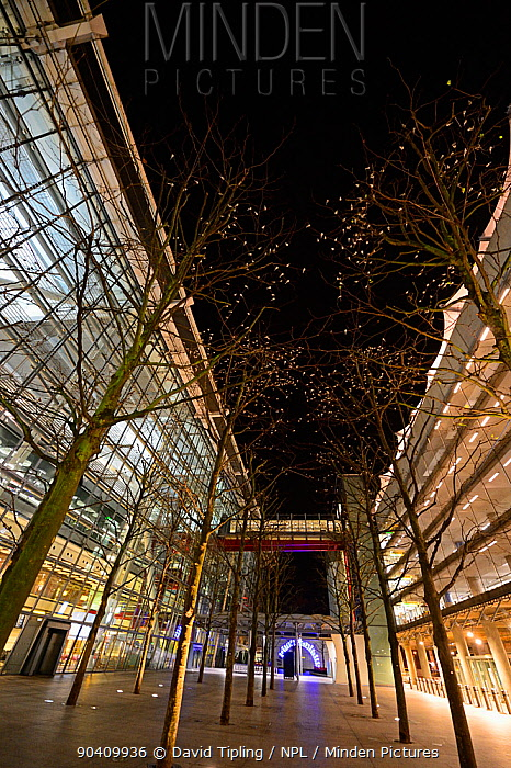 Roost of around 800 Pied Wagtails (Motacilla alba) in trees outside Terminal 5 Heathrow, London, UK December 2013  -  David Tipling/ npl