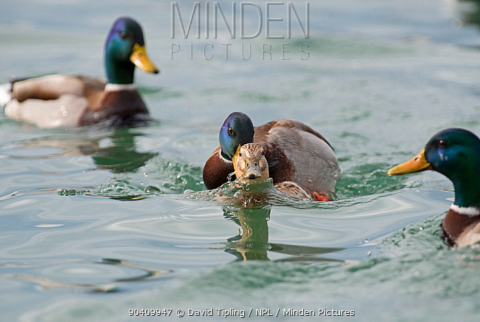 Mallards (Anas platyrhynchos) mating, Lake Geneva, Switzerland, March  -  David Tipling/ npl