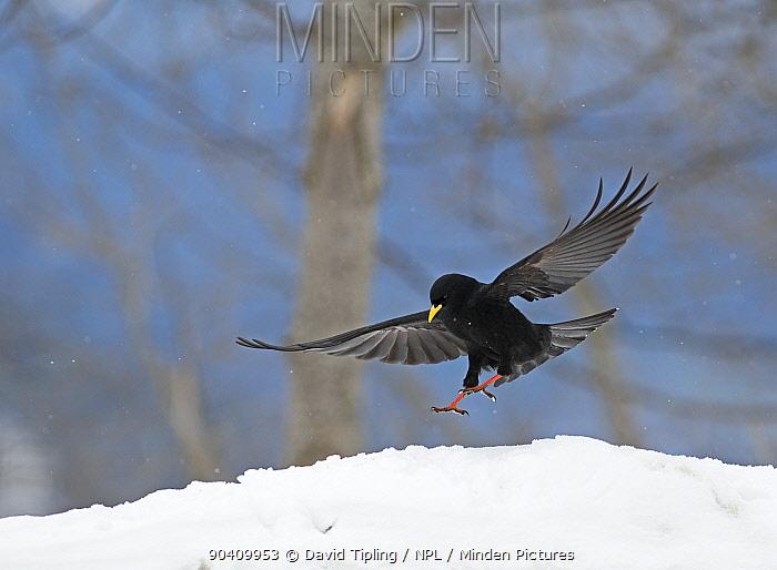 Alpine Chough (Pyrrhocorax graculus) in flight, Bernese Alps, Switzerland  -  David Tipling/ npl