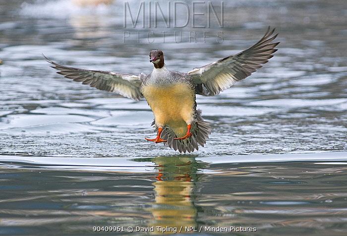 Goosander (Mergus merganser) female landing, Lake Geneva, Switzerland, March  -  David Tipling/ npl