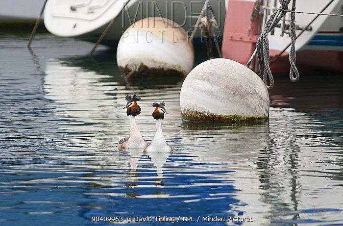 Great-crested Grebe (Podiceps cristatus) pair swimming past buoys, Lake Geneva, Switzerland, March  -  David Tipling/ npl