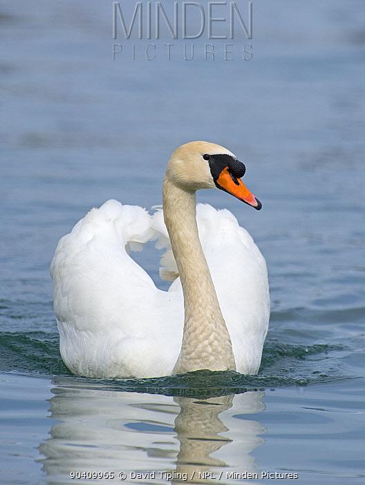 Mute Swan (Cygnus olor) patrolling territory, Lake Geneva, Switzerland, March  -  David Tipling/ npl