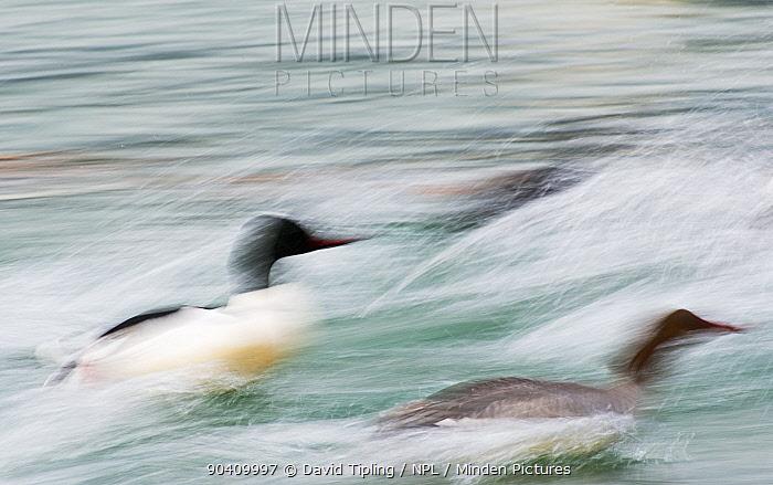 Goosander (Mergus merganser) male and female taking off, blurred motion, Lake Geneva, Switzerland, March  -  David Tipling/ npl