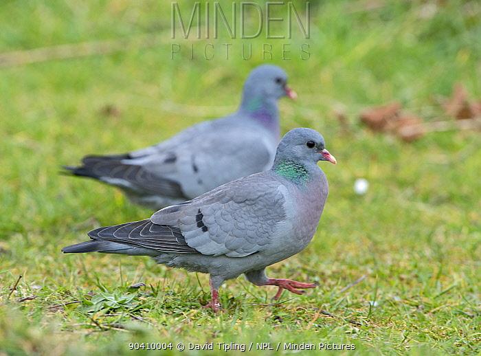 Stock Dove (Columba oenas) Suffolk, England, UK, March  -  David Tipling/ npl