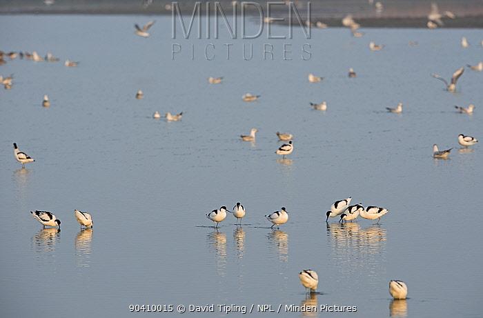 Avocets (Recurvirostra avosetta) foraging, Cley Marshes Reserve, Norfolk, England, UK, March  -  David Tipling/ npl