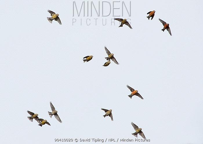 Common Crossbills (Loxia curvirostra) in flight, Holt, Norfolk, England, UK March  -  David Tipling/ npl