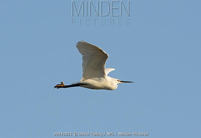 Little Egret (Egretta garzetta) in flight, Cley Marshes Reserve, Norfolk, England, UK, March  -  David Tipling/ npl