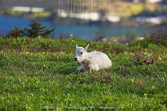 Young mountain goat (Oreamnos americanus), Glacier National Park, Montana, Rocky Mountains, July  -  Thomas Lazar/ npl