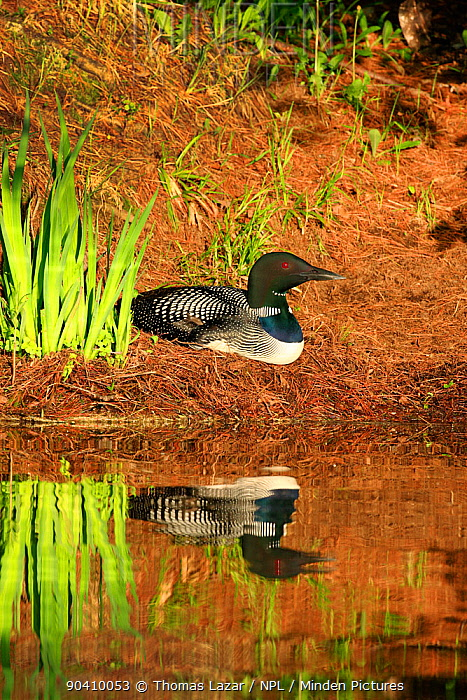 Common loon (Gavia immer) in breeding plumage sitting on nest, High Lake, Northern Highland State Forest, Wisconsin, June  -  Thomas Lazar/ npl