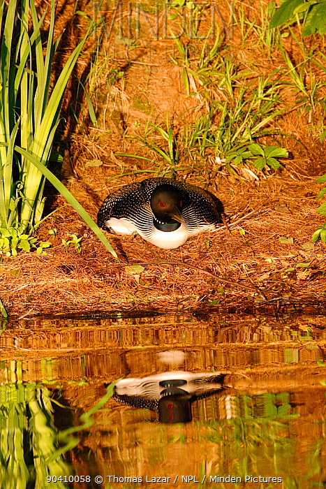 Common loon (Gavia immer) in breeding plumage sitting on nest High Lake, Northern Highland State Forest, Wisconsin, July  -  Thomas Lazar/ npl