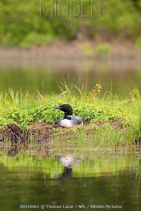 Common loon (Gavia immer) in breeding plumage sitting on nest, Allequash Lake, Northern Highland State Forest, Wisconsin, June  -  Thomas Lazar/ npl