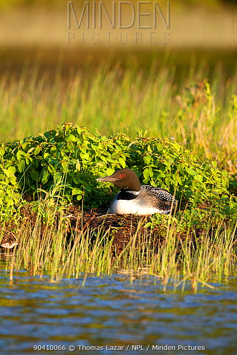 Common loon (Gavia immer) on nest incubating eggs, Allequash Lake, Northern Highland State Forest, Wisconsin, June  -  Thomas Lazar/ npl