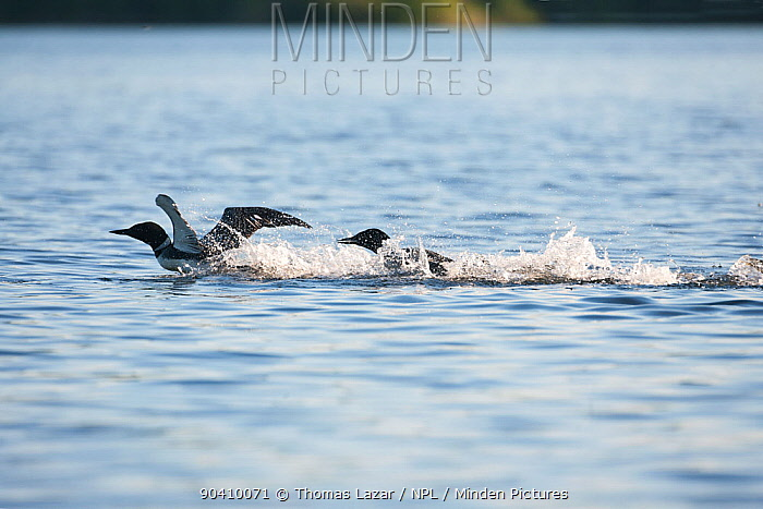 Common loons (Gavia immer) fighting over teritory dispute, one chasing the other, Allequash Lake, Northern Highland State Forest, Wisconsin, June  -  Thomas Lazar/ npl