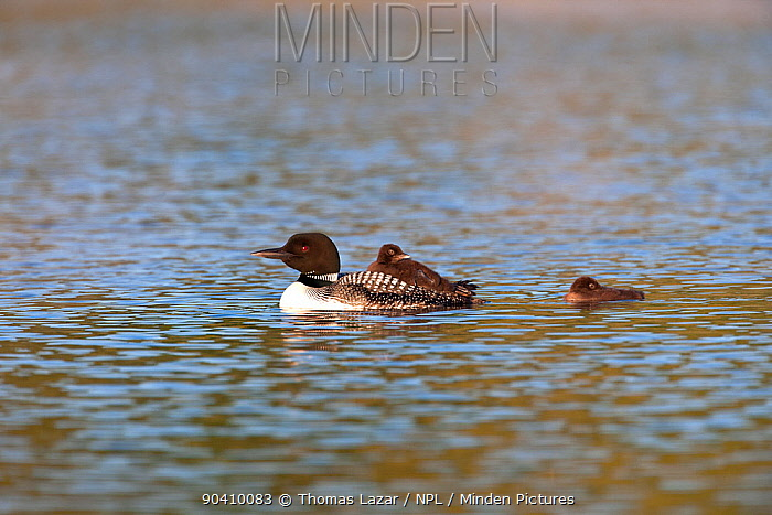 Common loon (Gavia immer) swimming with two chicks, Allequash Lake, Northern Highland State Forest, Wisconsin, July  -  Thomas Lazar/ npl