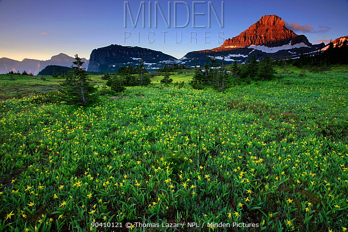 Alpine meadow filled with yellow glacier lillies, peak of Mount Reynolds in distance Logan Pass, Glacier National Park, Rocky Mountains, Montana, July 2010  -  Thomas Lazar/ npl