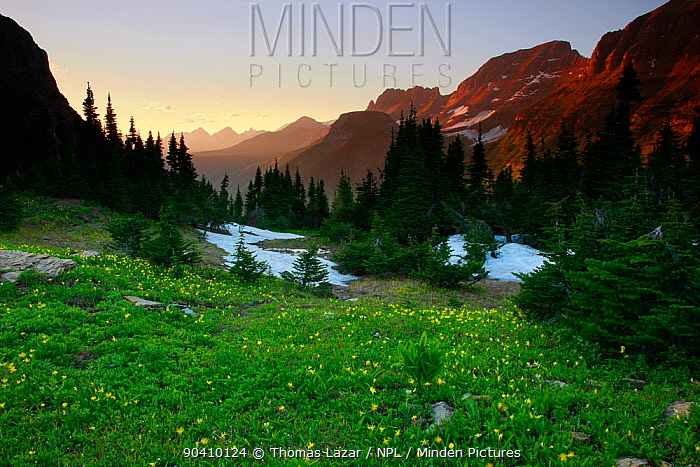 Alpine meadow filled with yellow glacier lillies at dusk, Garden Wall in distance Logan Pass, Glacier National Park, Rocky Mountains, Montana, July 2010  -  Thomas Lazar/ npl