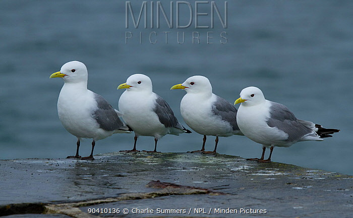 Four black-legged kittiwakes (Rissa tridactyla) resting on sea wall at Stromness, Orkney Islands, Scotland, UK, July  -  Charlie Summers/ npl