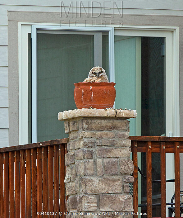 Great horned owl (Bubo virginianus), large chick in nest in a plant pot outside house, Aurora, May  -  Charlie Summers/ npl