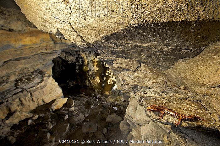 Strinatis cave salamander (Hydromantes strinatii) in its habitat Italy April 2014  -  Bert Willaert/ npl