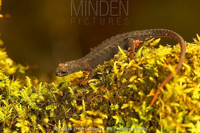 Northern spectacled salamander (Salamandrina perspicillata), Italy, April  -  Bert Willaert/ npl