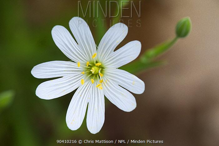Greater stitchwort flower (Stellaria holostea), Cumbria, UK April  -  Chris Mattison/ npl