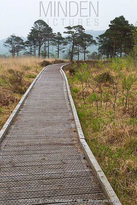Wooden path walkway over bog area at Roudsea Wood and Moss Nature Reserve, Cumbria, UK April  -  Chris Mattison/ npl