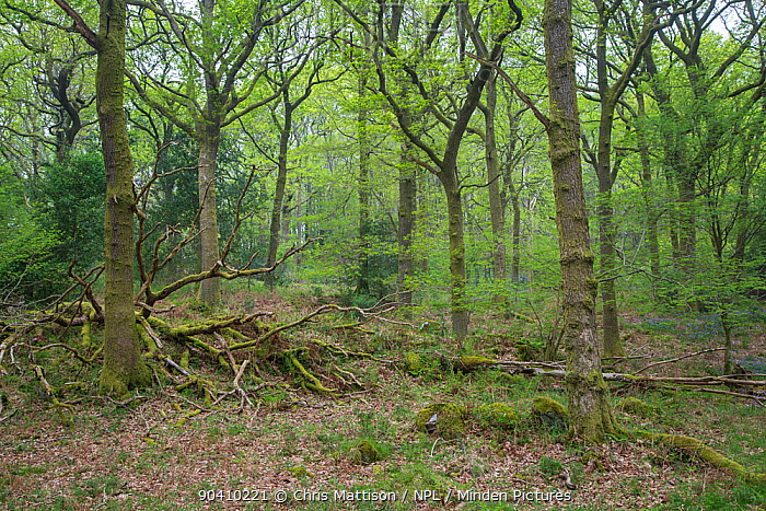 Oak woodland, Roudsea Woods, Cumbria, UK April  -  Chris Mattison/ npl