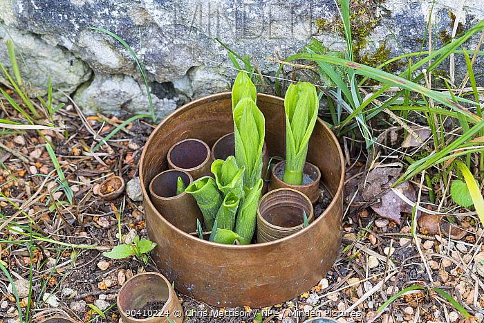 Young Ladys Slipper orchid plants (Cypripedium calceolus) protected by plastic rings, Lancashire, UK April  -  Chris Mattison/ npl