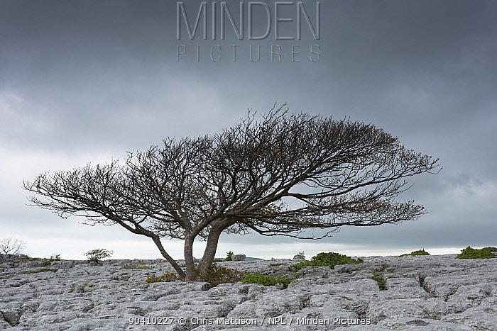 Sycamore tree (Acer pseudoplatanus), growing on limestone pavement, Lancashire, UK May  -  Chris Mattison/ npl