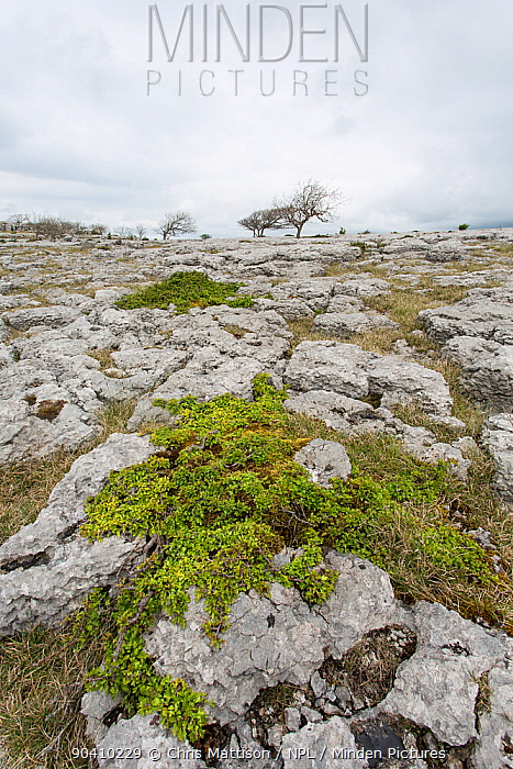 Hawthorn (Crataegus monogyna) growing on limestone pavement, stunted by continual cropping by sheep, Lancashire, UK May  -  Chris Mattison/ npl