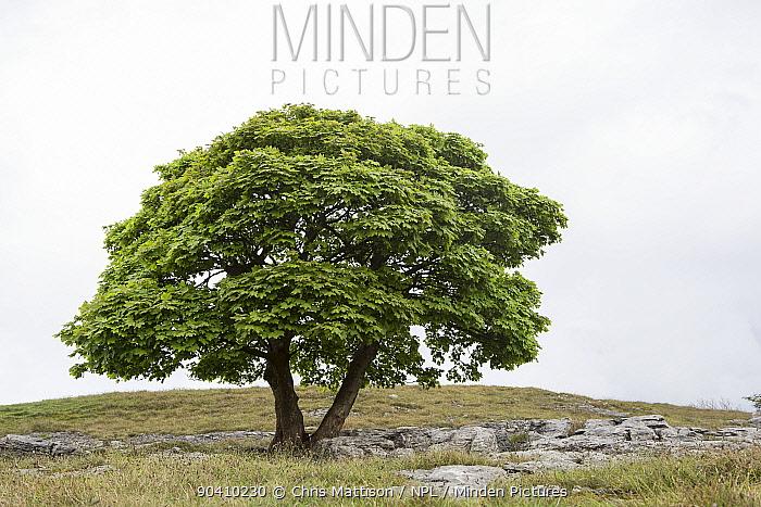 Sycamore tree (Acer pseudoplatanus) growing on limestone pavement, Lancashire, UK May  -  Chris Mattison/ npl