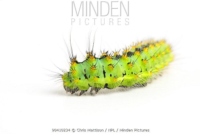 Emperor Moth caterpillar (Saturnia pavonia) late instar, aged 4-5 weeks  -  Chris Mattison/ npl