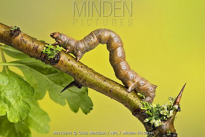 Geometer moth (Geometridae) caterpillar also known as a looper or inch-worm caterpillar, Yorkshire, UK April  -  Chris Mattison/ npl